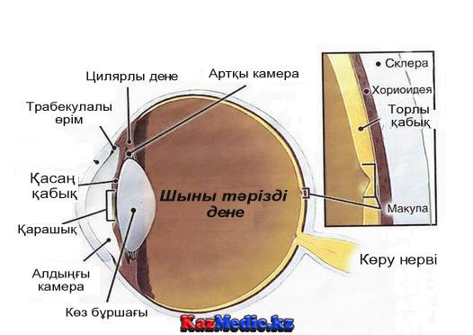 көздің ішкі көрінісі