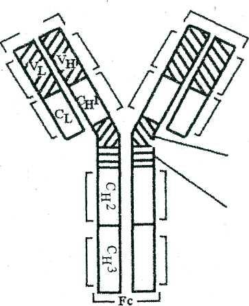 Иммуноглобулин құрылысы