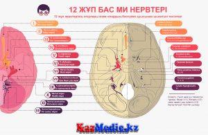 12 жұп бассүйек ми нервтері