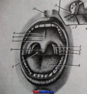 Ауыз аймағының анатомиясы