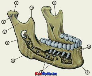 Жоғарғы және төменгі жақ анатомиясы