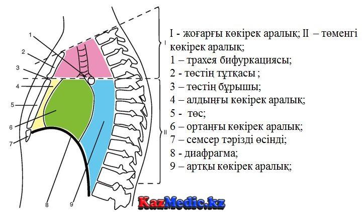 Көкірекаралық анатомиясы
