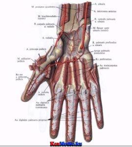 Аяқ қолдардың қан тамырларының клиникалық анатомиясы