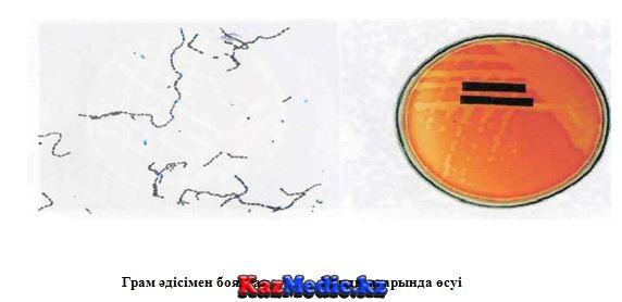 Streptococcus pyogenes стафилокок қазақша