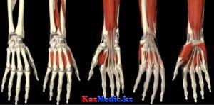 Білек пен қол ұшының клиникалық анатомиясы