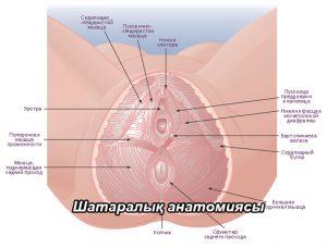 Шатаралық топографиялық анатомиясы