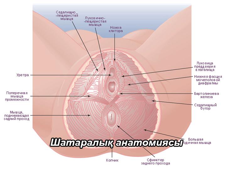 шатаралық анатомиясы