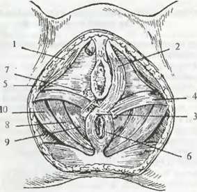Жамбас куысында ішкі жыныс мүшелерін қалыпты жағдайда ұстайтын байламдары бар ма?