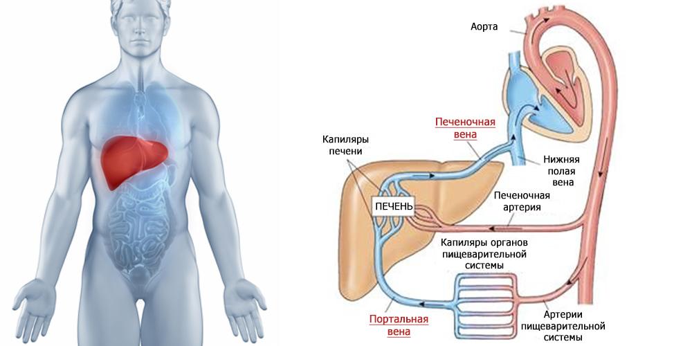 Порталды гипертензия патогенезі